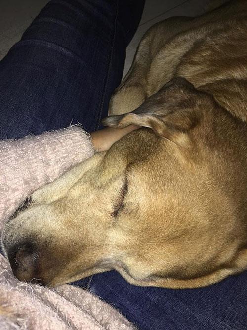 Labrador Dexter
