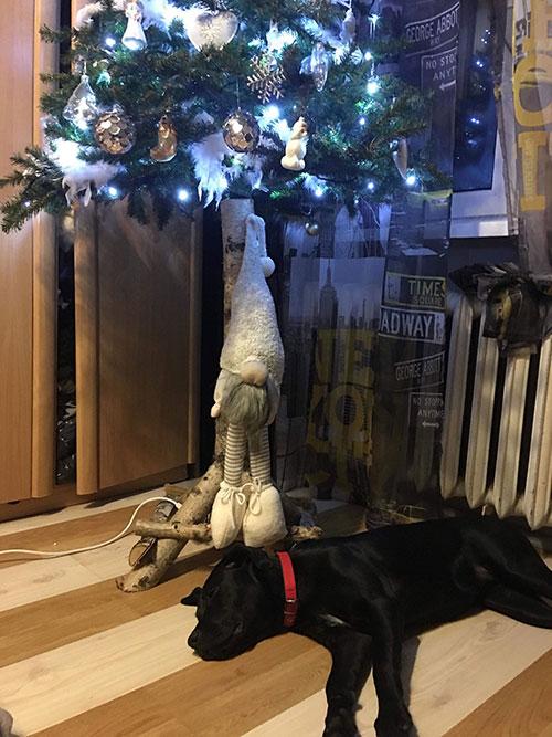 Frika, labradorka do adopcji