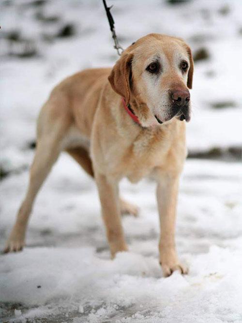 Gral, starszy labrador do adopcji