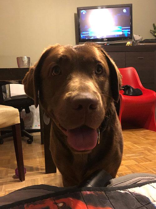 Kira, labradorka do adopcji