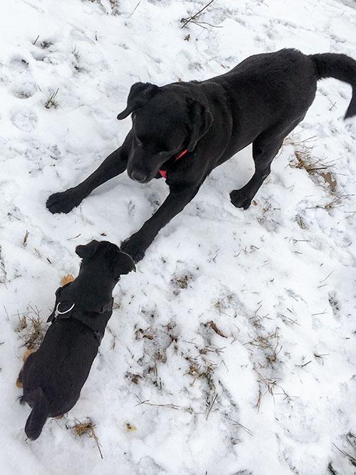 Labradorka Nana w potrzebie