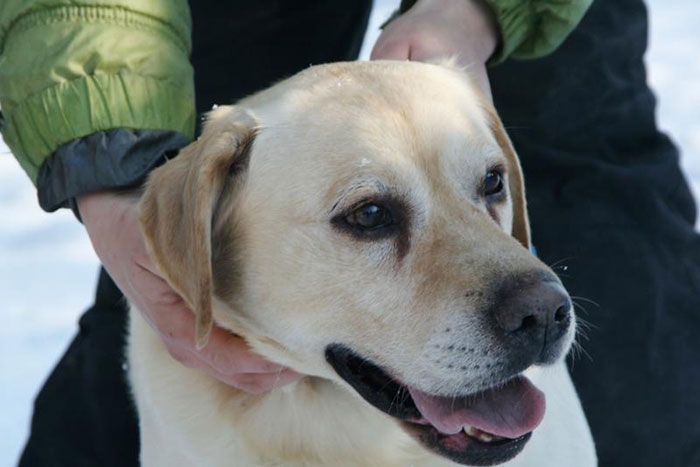 Prim, labrador do adopcji