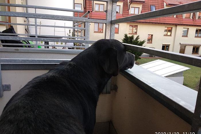 Labrador Sylwek