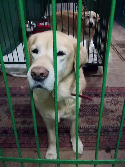 Bezi, labrador do adopcji