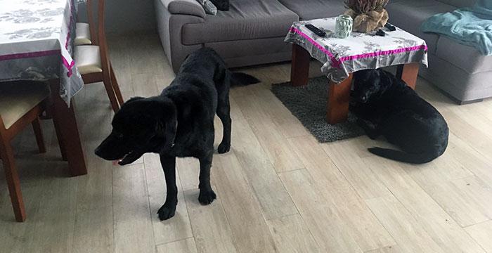 Labrador Daglas