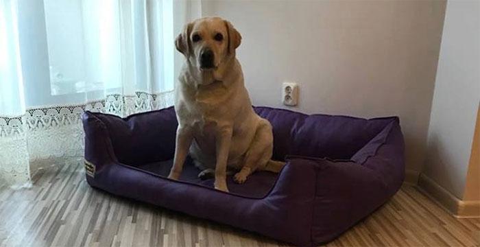 Kabi, labradorka do adopcji