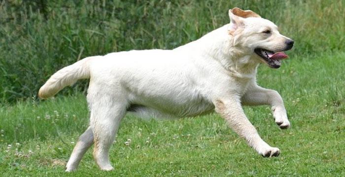 Lila, labradorka do adopcji