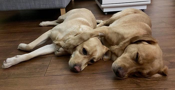Labradory, Lacky i Luna