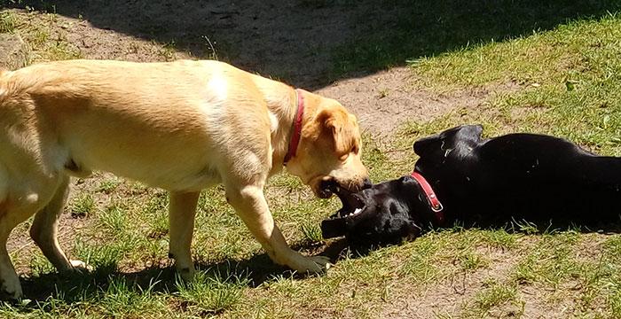 Labradory Mamba i Buddy