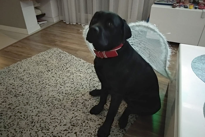 Ozzie, labrador do adopcji