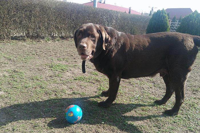 Kodi, labrador do adopcji