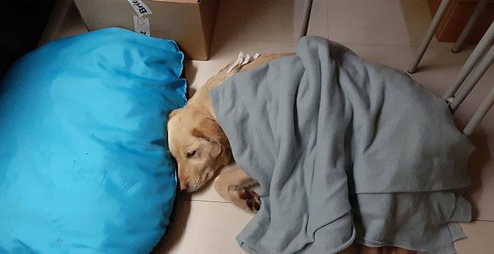Abra, labradorka do adopcji