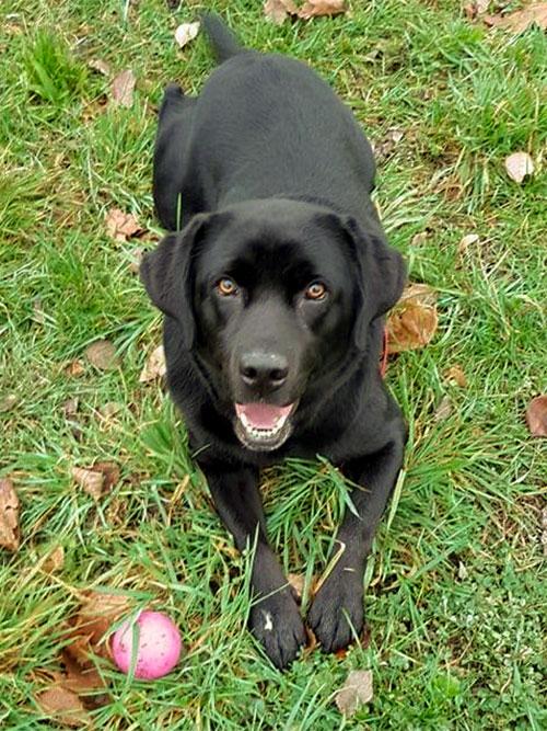 Aisza, labradorka do adopcji