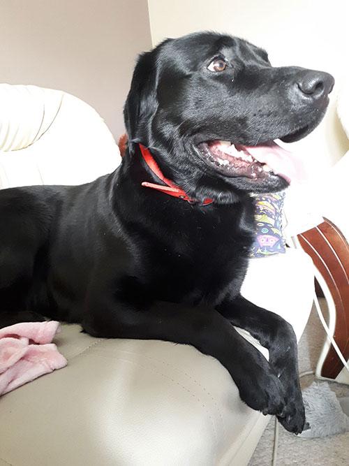 Labrador Cziko