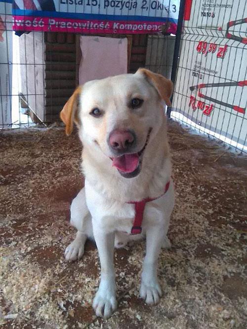 Benek, labrador do adopcji