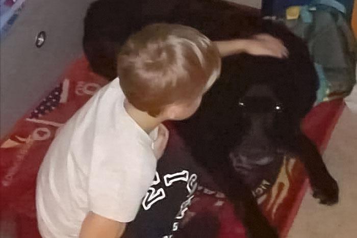 Chrupek, labrador do adopcji