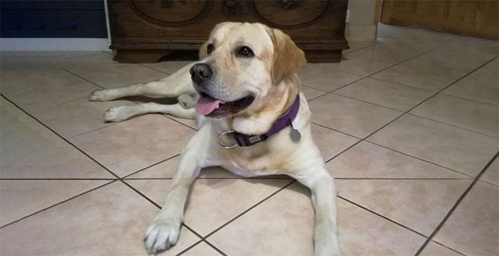 Jasper, labrador do adopcji