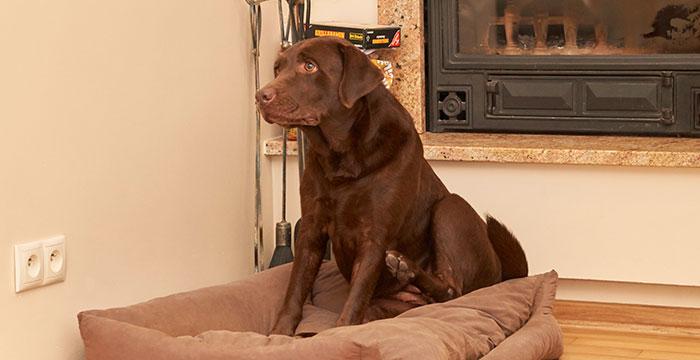 Ozee, labradorka do adopcji
