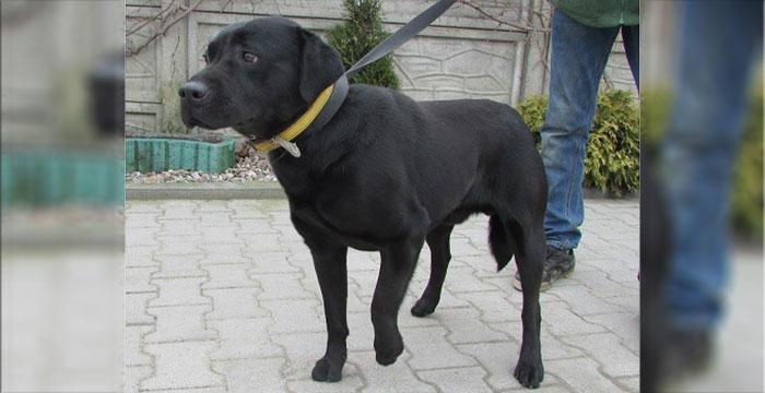 Labrador w schronisku do adopcji