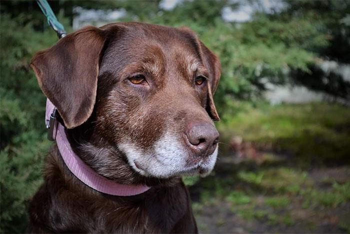 Zoja, labradorka do adopcji