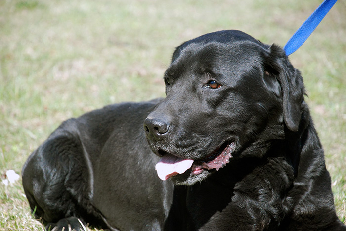 Konan, labrador do adopcji