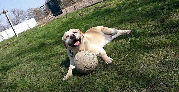 Labrador Bos