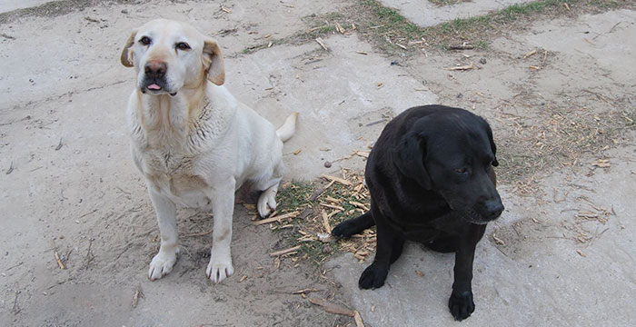Bianca i Betty, labradorki do adopcji