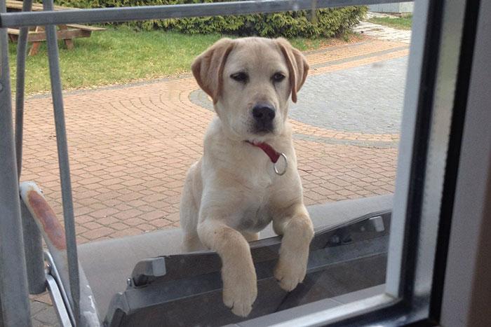 Rudi, labradorek do adopcji