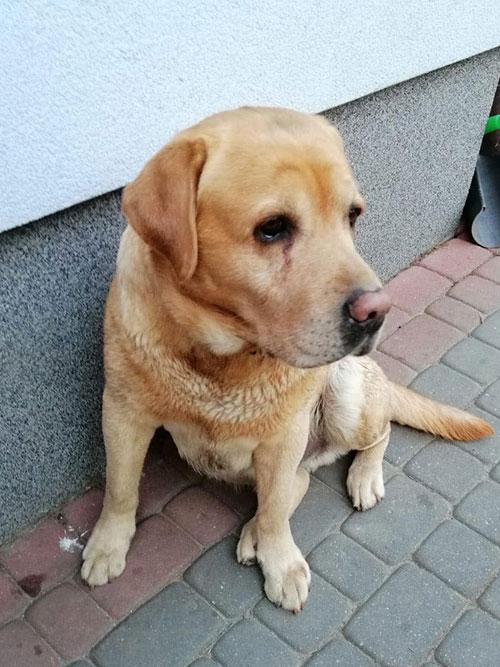 Sami, labrador do adopcji
