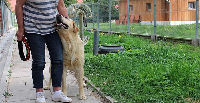 Niewidomy labrador w potrzebie
