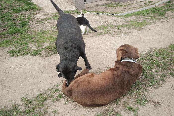 Tekila, labradorka do adopcji