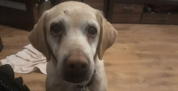 Amber, labradorka do adopcji