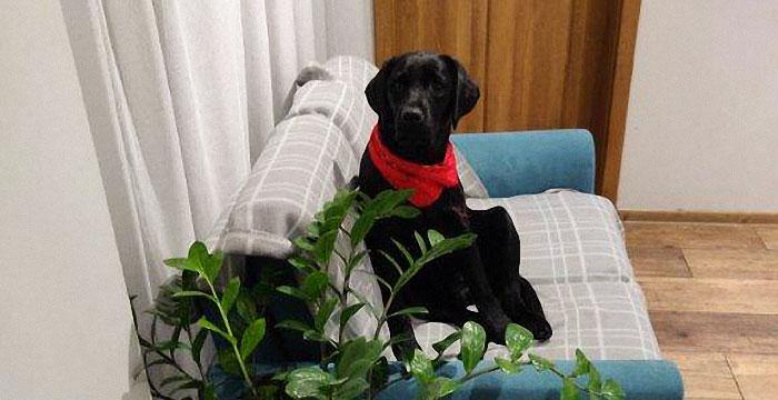 Elza, labradorka do adopcji