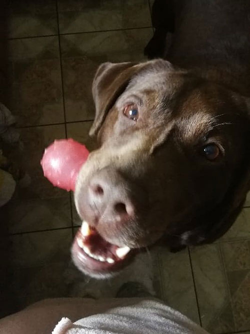 labradorka Lara do adopcji