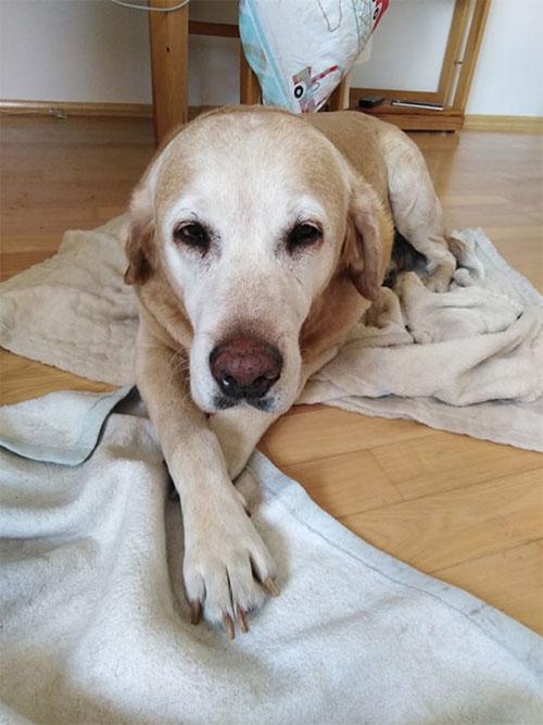 Berta, labradorka do adopcji