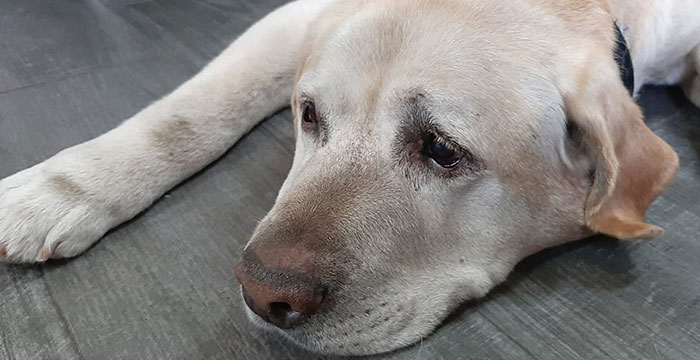 Labrador Borys w potrzebie