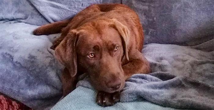 Cudowna Labradory do adopcji - społeczność labradory.org KA72