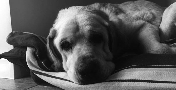 Labrador Ramis