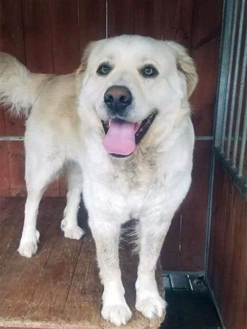 Labradorka do adopcji