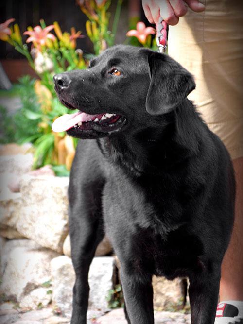 Spejson, labrador do adopcji