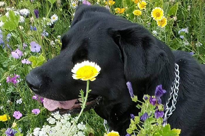Labradorka Zoli do adopcji