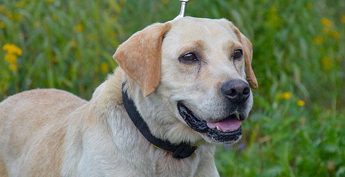 Ruffi, labrador do adopcji