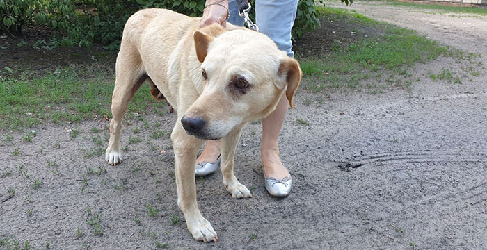 Iva, labradorka do adopcji