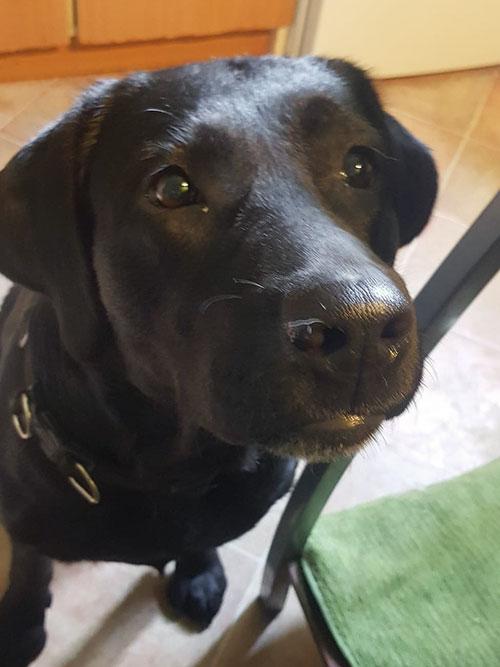 Natka, Labradorka do adopcji