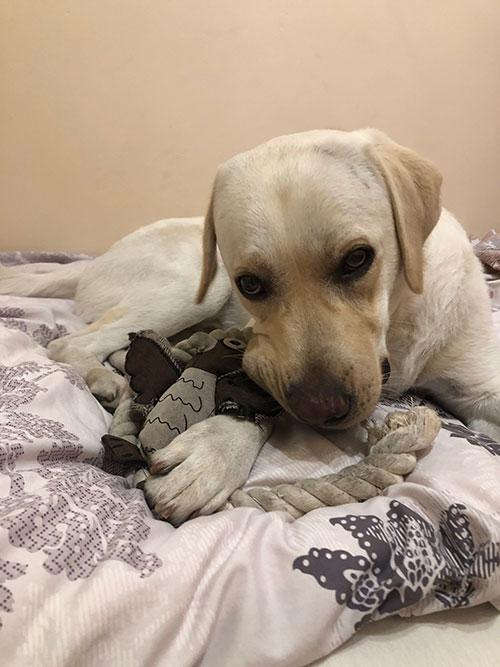 Labrador Cezar