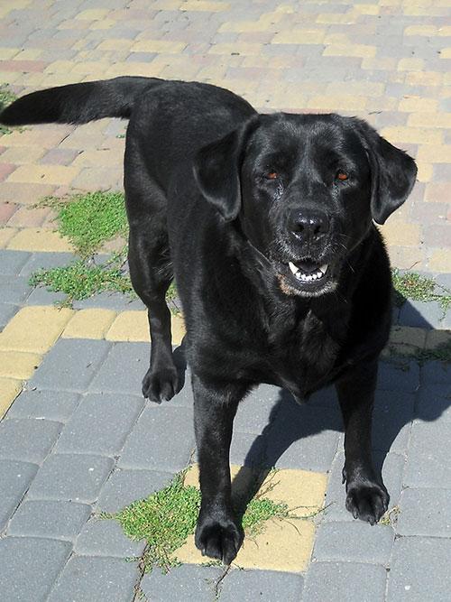 Helenka, labradorka do adopcji