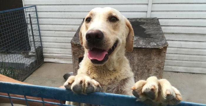 Lola, labradorka do adopcji