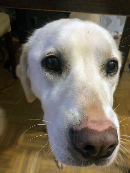 Luna, labradorka do adopcji