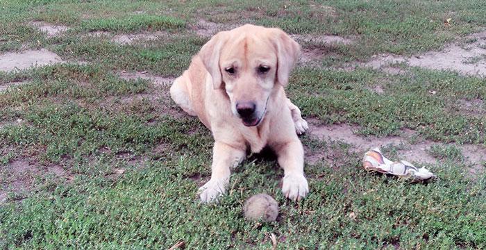 Suzi, labradorka do adopcji