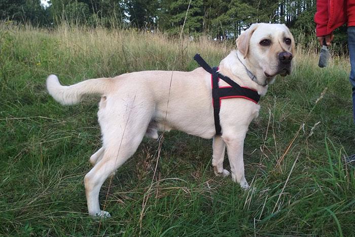 Labrador Logan